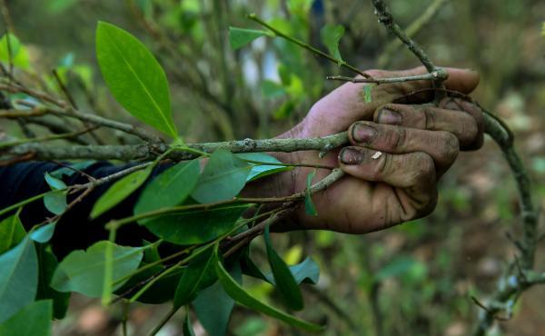 A farmer picks coca leaves in a field in Colombia.