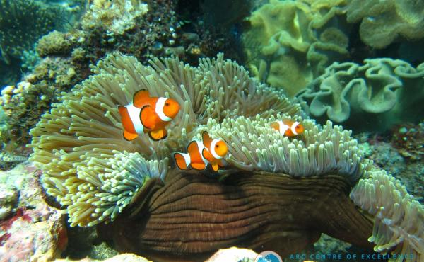 An orange clownfish, Amphiprion percula, lives in symbiosis with a host anemone on the Great Barrier Reef.