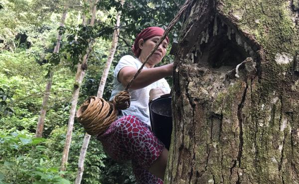 """In the forests near the southern Sumatran village of Krui, 48-year-old Marhana climbs up the trees to harvest damar, a resin used in paints and varnishes. These damar trees are part of something called an """"agroforest,"""" which experts see as a way to preven"""