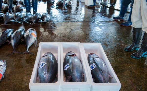 Pacific bluefin tuna for sale at the tuna market in Katsuura on the Kii Peninsula, the premium tuna auction in Japan. The new agreement to protect the tuna is aimed at putting the species on a path to recovery.