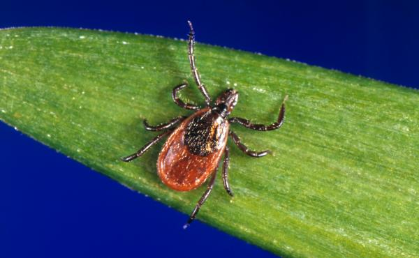 The black-legged tick, ixodes scapularis, can spread Lyme disease.