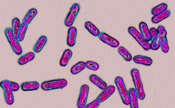 Infections with Clostridium difficile can crop up after a round of antibiotics.