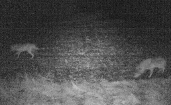 Two wolves, as caught in night-vision footage by a game camera in West Jutland, Denmark. Scientists say that since 2012, they have confirmed at least five different wild wolves in the country — four males and one female.