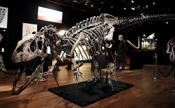 A skeleton of an Allosaurus on display at Drouot auction house in Paris in October. A new theory says the dinosaurs were killed by a comet fragment that originally came from the edge of the solar system.
