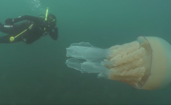 """Biologist Lizzie Daly says the experience of swimming with a gargantuan jellyfish was """"absolutely incredible."""""""