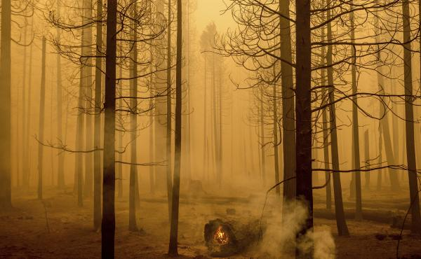 Following the Dixie Fire, flames burn in a tree in the Canyondam area of Plumas County, Calif., Friday, Aug. 6.