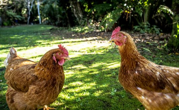 Drawn in by fresh eggs, or the possibility of feathered friends, people continue to flock toward backyard chickens. One researcher wonders if local laws are doing enough to keep people and birds safe.