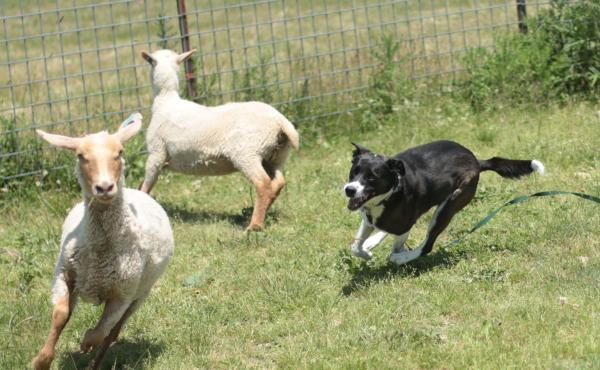"""Lily chases sheep for the first time in her shepherd-mix life, at Raspberry Ridge Sheep Farm in eastern Pennsylvania. Several times a year the farm invites dogs for """"herding instinct tests."""""""