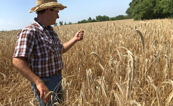 "Wade Dooley, in Albion, Iowa, uses less fertilizer than most farmers because he grows rye and alfalfa, along with corn and soybeans. ""This field [of rye] has not been fertilized at all,"" he says."