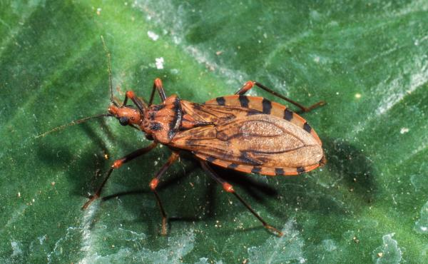 """The blood-sucking conenose assassin bug (Triatoma sanguisuga) is also called a """"kissing bug"""" because of its tendency to bite human faces. It feeds on human blood and is the vector of the parasite Trypanosoma cruzi, which causes Chagas disease."""
