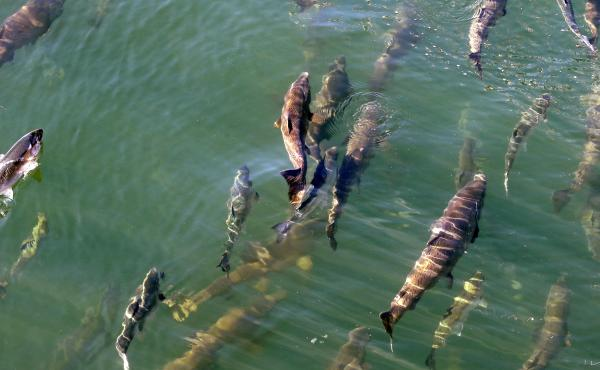 Salmon swim upstream in Seattle in 2017. A mass of abnormally warm water off the west coast of the U.S. that year contributed to a federal fishery disaster. Warming oceans and rising sea levels are threatening coastal economies as the world's climate chan
