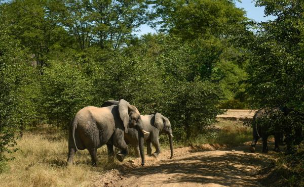 Elephants approach a road at Liwonde. Reid says the park hasn't lost a single high-value animal in 30 months.