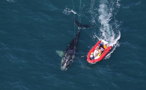 Scientists from NOAA Fisheries Service approach a young North Atlantic right whale in order to disentangle it. New research shows whales with severe entanglements in rope and fishing gear are experiencing stunted growth, and body lengths have been decreas