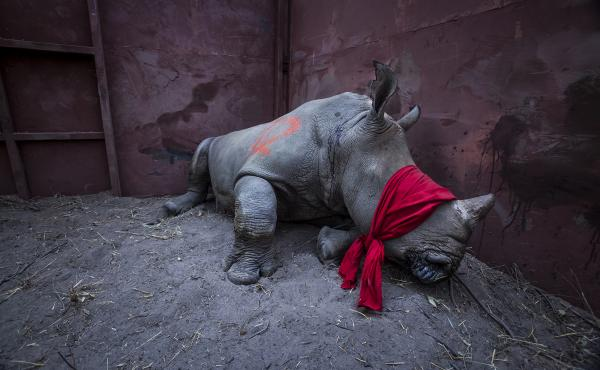 A young white rhino, drugged and blindfolded, is about to be released into the Okavango Delta in Botswana. It was relocated from South Africa to protect it from poachers.