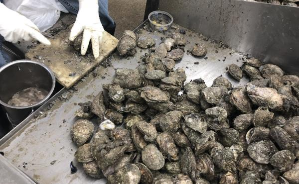 The shucking house at Bon Secour Fisheries in Alabama has just three shuckers working this year because of a lack of oysters.