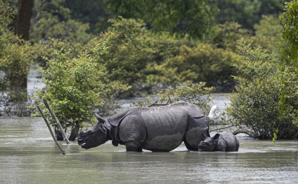 A one-horned rhinoceros and a calf wade through flood water at the Pobitora Wildlife Sanctuary in Assam, India, Thursday. Floods and landslides triggered by heavy monsoon rains have killed dozens of people in this northeastern region. The floods also inun