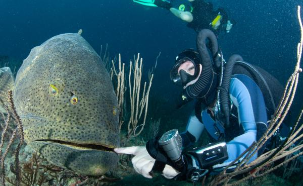Because of their size, goliath groupers are nearly fearless and easy prey for fishermen and divers with spearguns.
