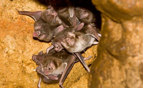 Common vampire bats (Desmodus rotundus), such as this group day-roosting in a cave in Mexico, can form cooperative, friendship-like social relationships.