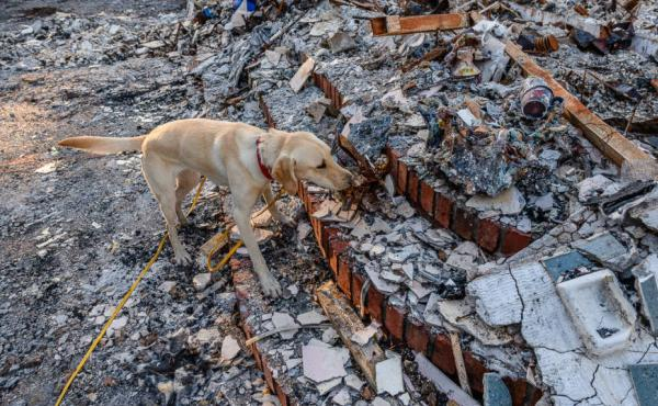 Echo, an English Labrador, narrows down the search for the ashes of Kathy Lampi's mother. She died in June, but her cremains were lost in the wildfire in October.