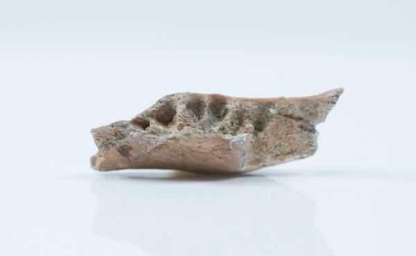 Among the hominin fossils found at the Mata Menge site on the Indonesian island of Flores was part of a lower jaw.