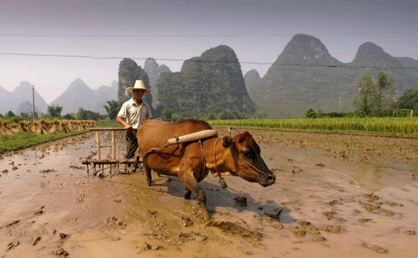 A farmer plows his field with an ox-pulled plow in China's Guangxi province. Archaeologists think that domesticated farm animals increased inequality in some ancient societies.