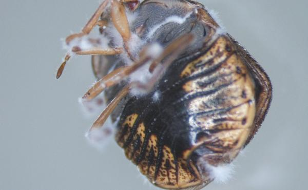 When it comes to biopesticides, one of the most widely used fungi is Beauveria bassiana. Above, a kudzu bug killed by Beauveria bassiana, seen growing out of the cadaver.