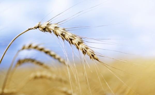 How did that genetically modified wheat end up in a field in Oregon? Investigators still don't know, but now they've found GMO wheat in Montana, too.