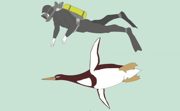 An illustration comparing the giant penguin to an average person. Kumimanu biceae weighed about 220 pounds and was a bit shorter than 6 feet in height. It swam around off the coast of New Zealand between 55 and 60 million years ago.