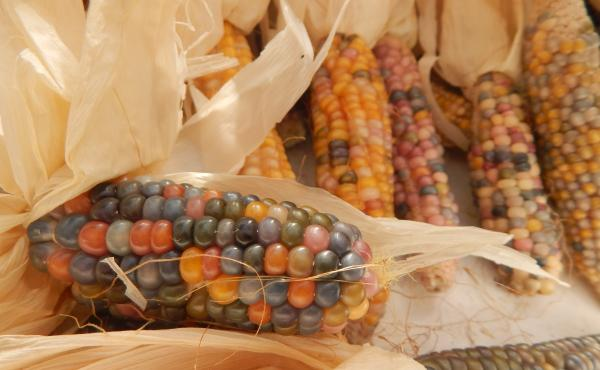 Glass Gem corn is bred specifically for its beauty.