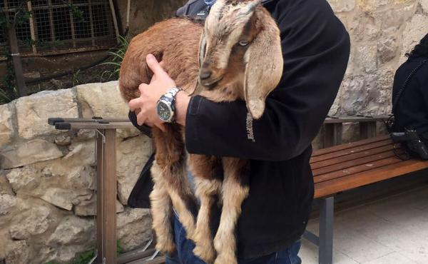 This goat was almost sacrificed, but was rescued at the last minute by an Israeli official.