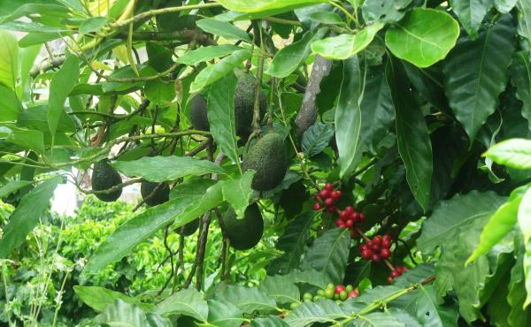 Jay Ruskey grows coffee next to avocados on his farm, Good Land Organics, in Goleta, Calif. The two crops are often grown together in Central America, partly because they can share fertilizer and water.
