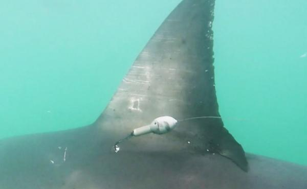 The scientists tagged great white sharks during the fall and hoped they would arrive in the offshore area during their visit.