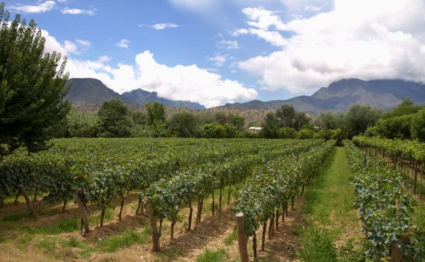 A vineyard in Tarija, Bolivia, the center of the country's wine industry. A growing number of wineries here are improving their techniques, ramping up production and starting to export, as global interest in Bolivia's award-winning wines grows.