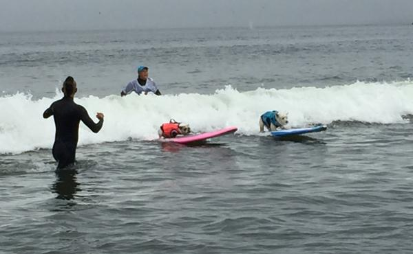 In the World Dog Surfing Championships, dogs can compete solo or in tandem with another dog or person.