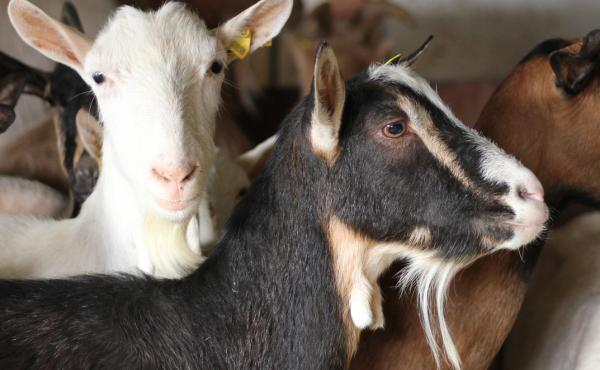 Rescues of farm animals, like goats, don't always get the same kind of attention as high-drama rescues of wild animals, says Barbara J. King.