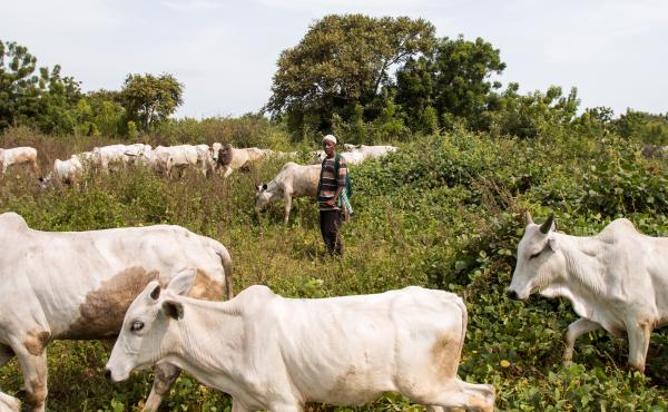 Sale Tambaya, a cattle herder in central Nigeria, grazes his cows. After his home state criminalized open grazing in November 2017, he and his family fled with their livestock to a neighboring state where grazing is allowed. Two of his sons died on the jo