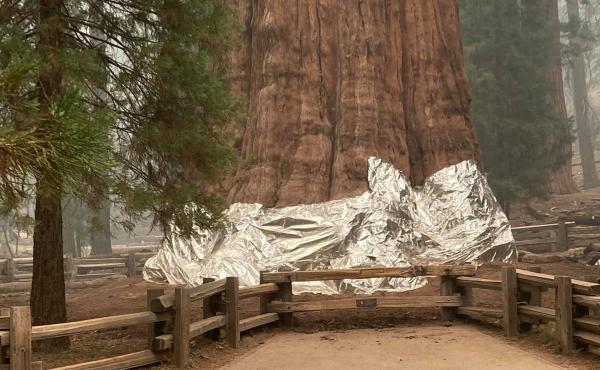 Firefighters wrapped foil around the base of the General Sherman tree to protect the gigantic sequoia from an intense wildfire.