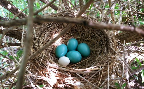 One of these things is not like the other: A 3-D printed model of a beige cowbird egg stands out from its robin's egg nest mates, though their shape and heft are similar.
