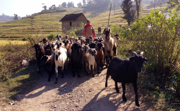 Nepal's sacred goats are escorted to a field to grab a bite. Luckily for them, they will never become a bite.