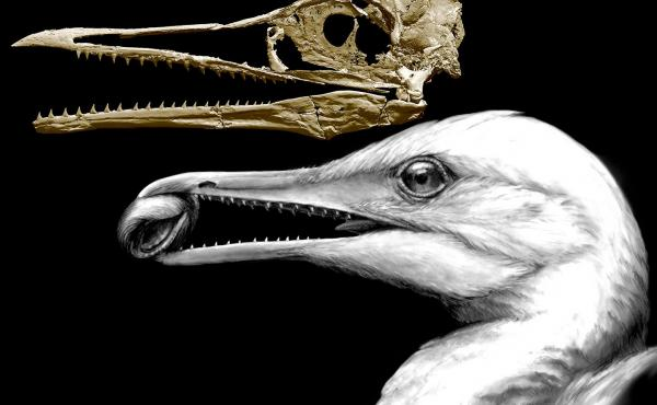 A CT-scan image of the skull of an ancient bird shows how one of the earliest bird beaks worked as a pincer, in the way beaks of modern birds do, but also had teeth left over from dinosaur ancestors. The animal, called Ichthyornis, lived around 100 millio