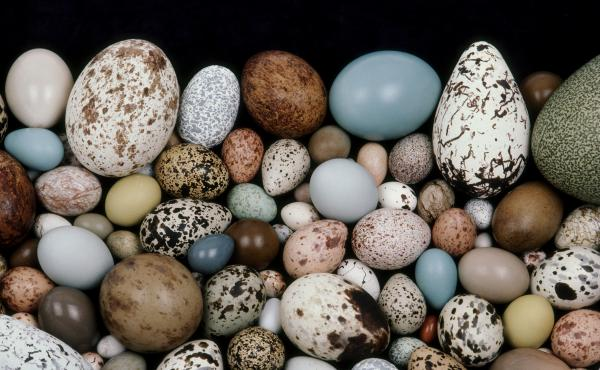 An international team of scientists believes it has solved the mystery of how eggs got their shapes.