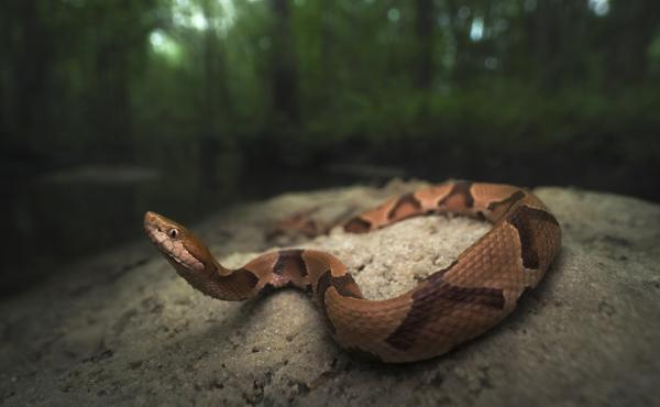 Copperhead snakes are one of the four kinds of venomous snakes in the United States.