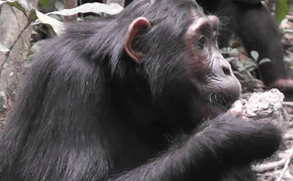 Mineral supplements, ape-style: A female chimp called Kana eats clay in the Budongo Forest of Uganda.
