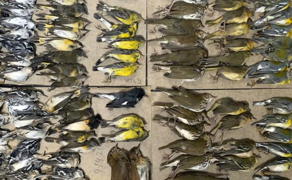 This photo provided by Melissa Breyer shows some of the dead birds collected in the vicinity of New York's World Trade Center on Tuesday.