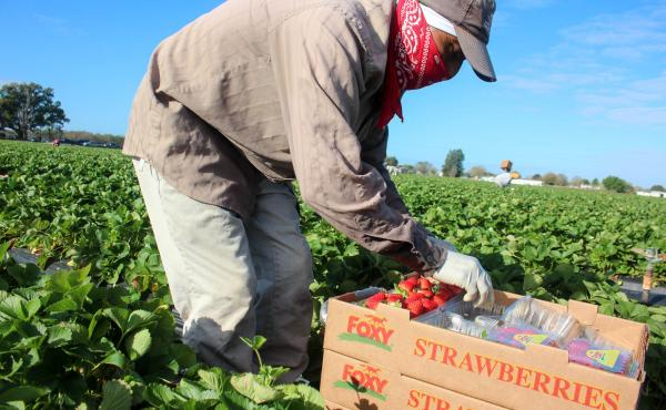 Workers place the berries directly into the plastic clamshell packages that shoppers will find in stores.