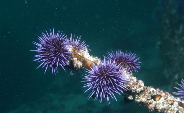 Across much of Northern California, purple urchins have little kelp left to eat, but still can survive.