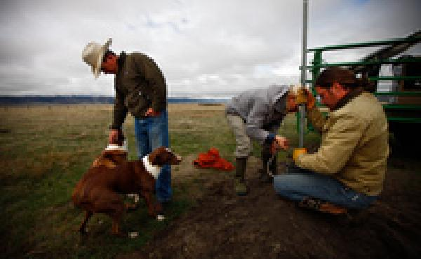 Bryan Ulring (left), ranch hand Graham Fulton (right) and Nature Conservancy ecologist Nathan Korb (center) install a pipe on a new well dug for the cattle Ulring manages for J Bar L Ranch. The ranch is working with The Nature Conservancy to try to preser