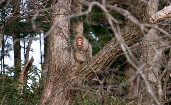 A macaque monkey in a tree in Fukushima prefecture. After the 2011 nuclear disaster, towns and neighborhoods in Fukushima were left devoid of humans for years, and nature started to reclaim the space.