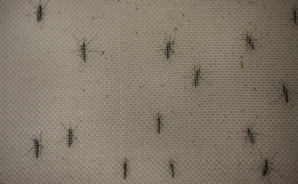 Aedes aegypti mosquitoes infected with the Wolbachia bacterium, which appears to block transmission of dengue fever and other mosquito-borne viruses.