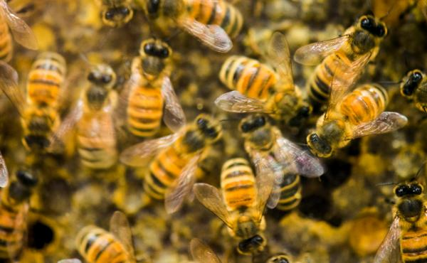 A hive of honeybees on display at the beekeeping convention in Vermont in 2014.
